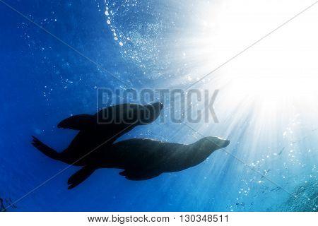 Californian sea lion silhouette underwater close up