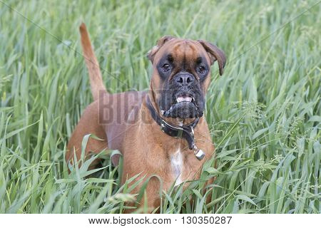 Isolated Boxer Young Puppy Dog While Jumping On Green Grass