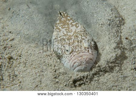Stargazer Priest Fish Hunting In Sand In Philippines