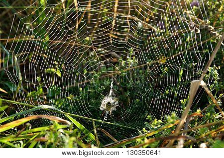 shining in the morning sunlight spiderweb with wasp spider