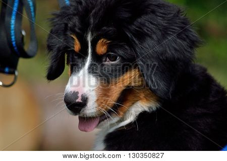 young Bernese Mountain Dog looks sweet - portrait