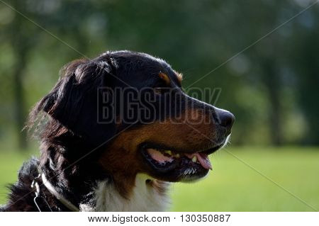 side-looking Bernese Mountain Dog - Dog Portrait