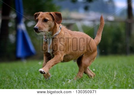 brown dachshund running joyfully through the meadow