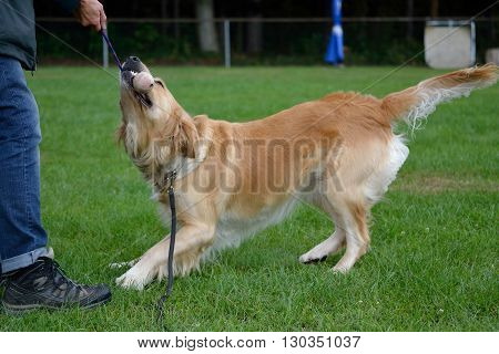 Big brown dog - Golden Retriever - playing with ball coach
