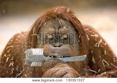 Orang Utan Borneo Monkey While Holding A Dish Brush In The Mouth