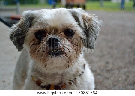 Shih Tzu looks with big eyes at the camera