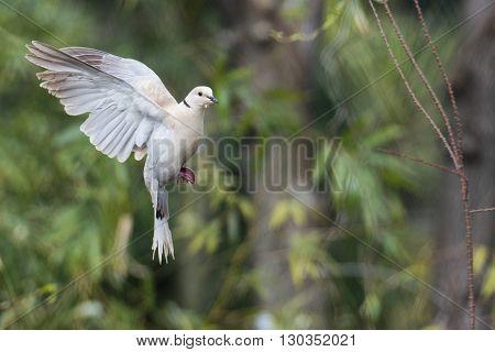 Turtle Dove Bird