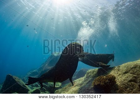 Male Sea Lions Fighting Underwater
