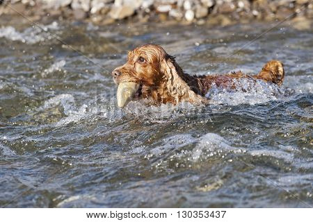 Puppy Dog Cocker Spaniel