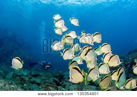 School Of Angel Fish Looking At You