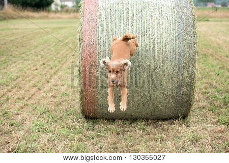 Dog Puppy Cocker Spaniel Jumping From Wheat Ball