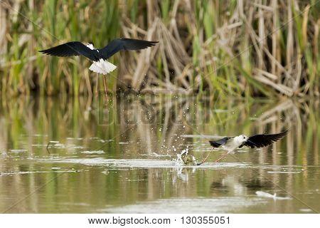 Black-winged Stilt While Fighting