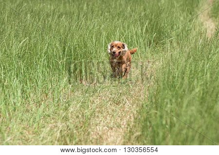 Young Puppy Dog English Cocker Spaniel While Running On The Grass