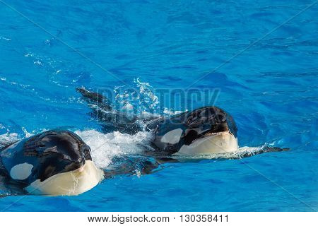 Killer Whale Orca While Swimming