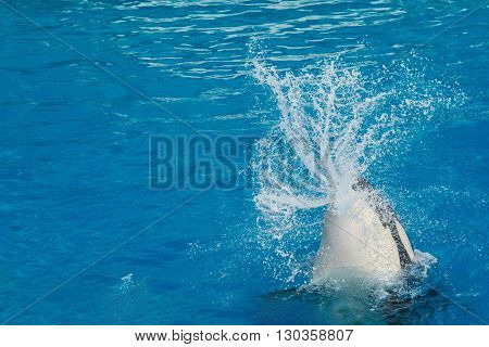 Orca Killer Whale While Swimming