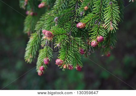 Closeup of pine twig with bud on green background