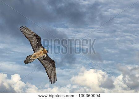Lammergeyer Vulture Buzzard Portrait On Deep Blue Sky