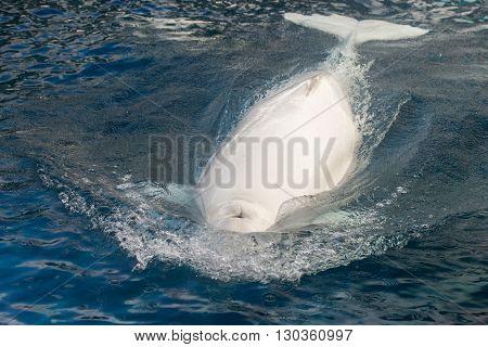Beluga Whale White Dolphin Portrait