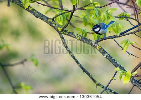 Great Blue Tit On A Tree