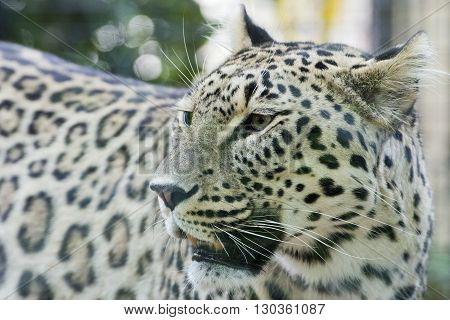 Jaguar Leopard Chetaa Close Up Portrait Isolated