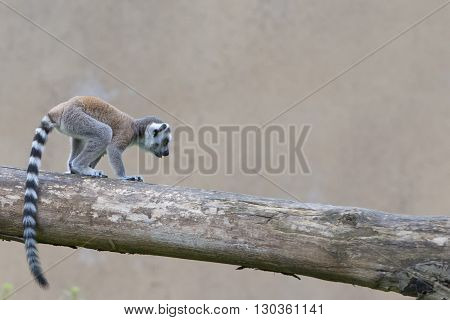 Isolated Young Puppy Lemur