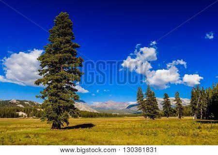 Tree At Tioga Pass, Yosemite National Park, Sierra Nevada, Usa