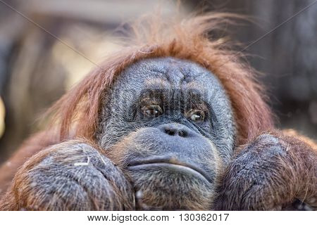 Female Orang Utan Monkey Portrait While Looking At You