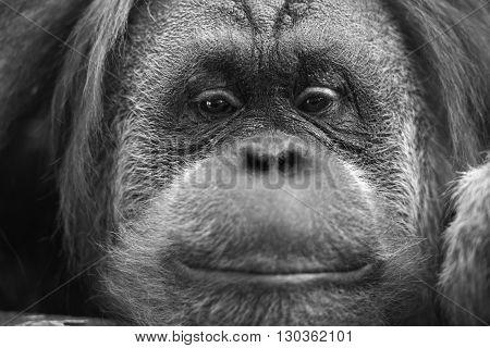 Orangutan Monkey Close Up Portrait In Black And White