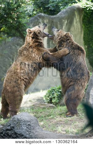 Two Black Grizzly Bears While Fighting