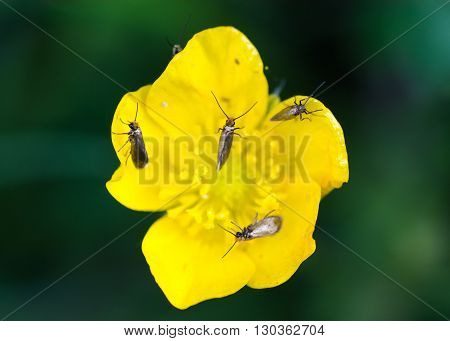 Micropterix calthella moths on buttercup. Tiny moths in the family Micropterigidae feeding on pollen of flower