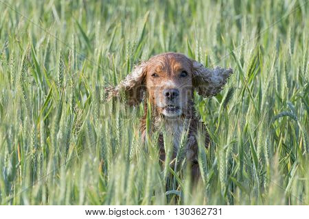 Isolated Cocker Spaniel Running To You In Grass Background