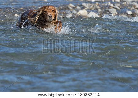 English Puppy Cocker Spaniel Running In The River