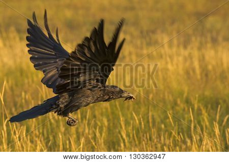 Raven Eating A Cricket On Yellow Background