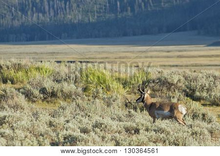 Pronghorn in Lamar Valley Yellowstone close up