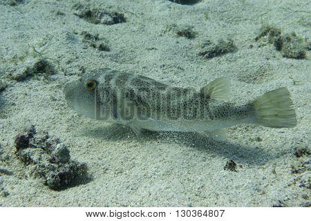 Box Fish Underwater Portrait