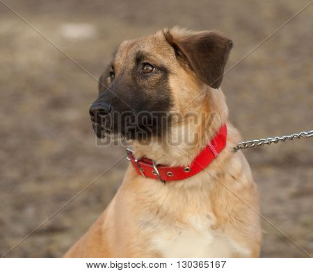 Yellow mongrel puppy in red collar sits on grass