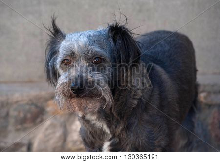 Gray shaggy dog standing on stone wall background