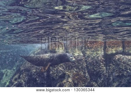 Male Sea Lion Underwater Looking At You