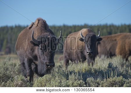 Buffalo Bison in Lamar Valley Yellowstone close up