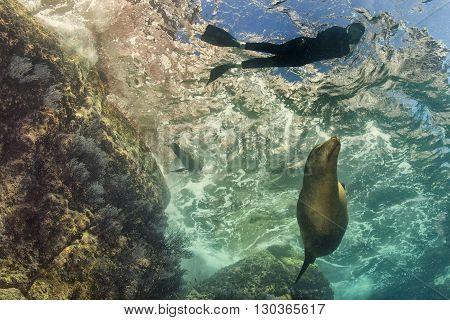 Sea Lion Underwater Looking At Snorkelist