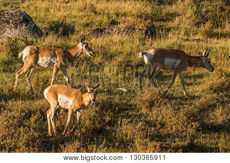 Antelope American Antilocapra In Yellowstone