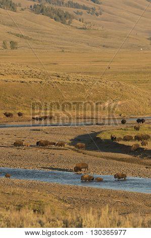 Buffalo Bison In Yellowstone