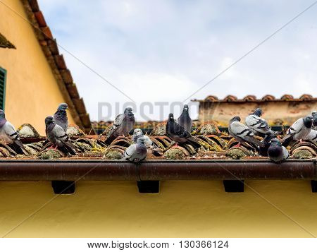 Pigeons on an old roof in Lucca Italy