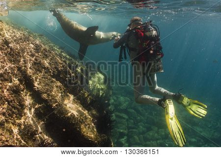 Sea Lion Underwater Meets A Photographer