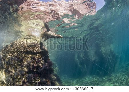 Californian Sea Lion Seal Underwater