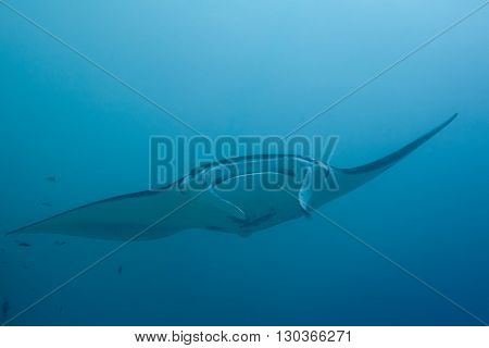 An Isolated Manta Coming To You In The Blue Background