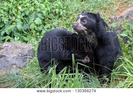 Spectacled Bear Portrait While Looking At You