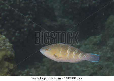Isolated Colorful Grouper In The Blue Background
