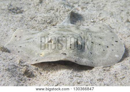 Parsnip Stingray Fish