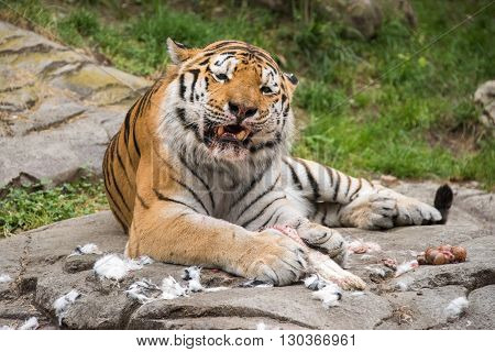 Siberian Tiger While Eating And Looking At You